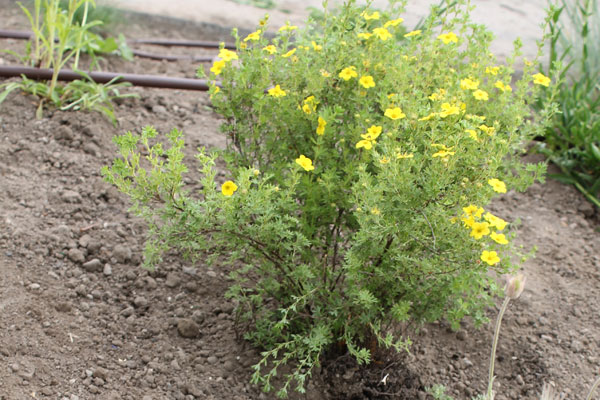 Yellow flowered native plant