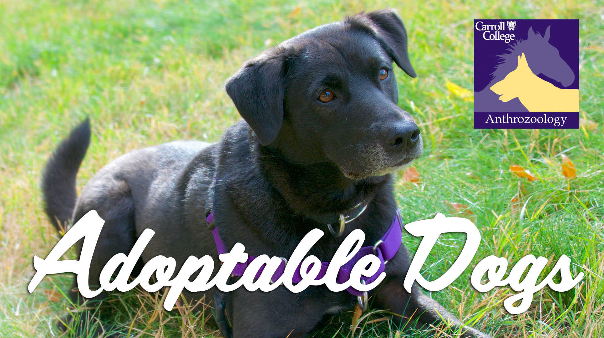 Adoptable Dogs at Carroll College